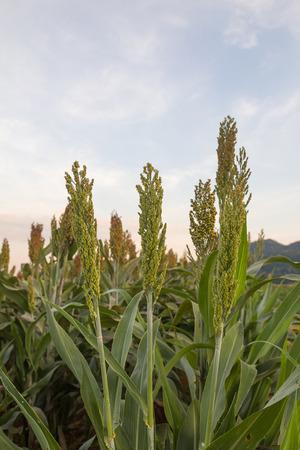 sorgo: Cierre de sorgo en el campo, Tailandia