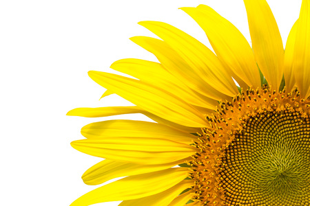 stamens: Closeup yellow sunflower petals isolated on write background