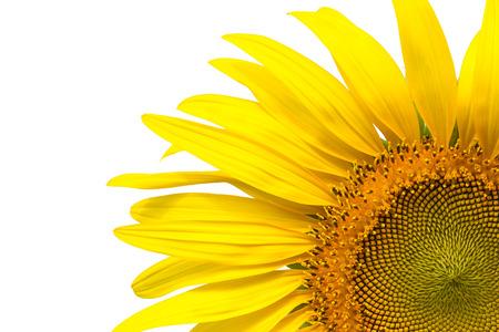 girasol: Primer pétalos de girasol amarillo sobre fondo de escritura