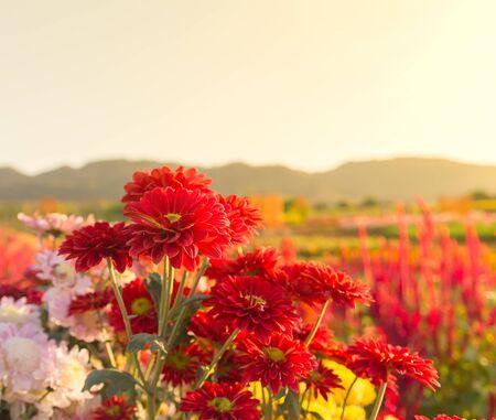 garden flowers: Colorful Red gerbera or chrysanthemum flowers in garden