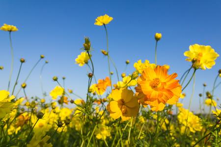 marguerite: Gros plan orange cosmos fleurs ou cosmos soufre fompositae famille dans le jardin