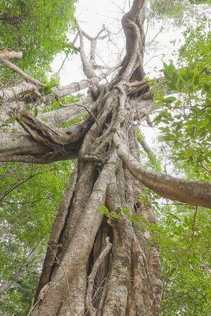 epiphyte: Under big green tree. Looking up the trunk of a giant rainforest tree