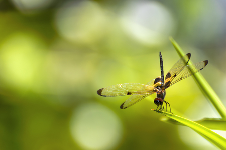 dragonfly wing: The dragonfly sitting on green grass  background