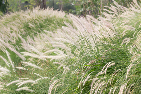 cylindrica: Imperata cylindrica Beauv of Feather grass in nature