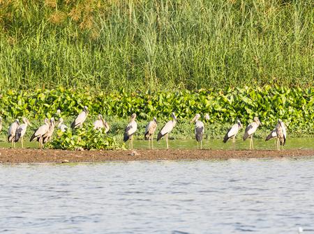 anastomus: Flock of Asian Openbill or Open-billed stork in marsh Stock Photo
