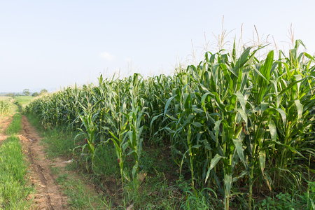 Corn on the cob ,field of corn ready for harvest