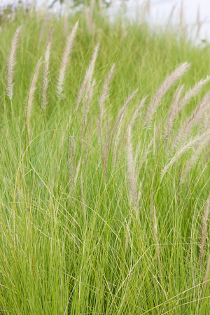 imperata: Close up Imperata cylindrica Beauv of Feather grass in nature Stock Photo