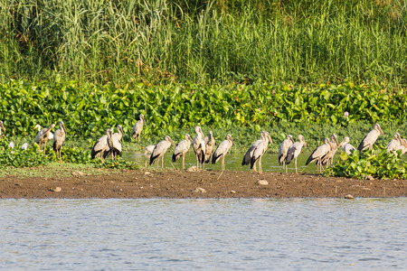 oscitans: Flock of Asian Openbill or Open-billed stork in marsh Stock Photo