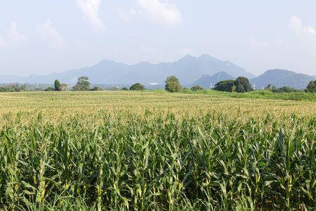 corn kernel: Corn on the cob ,field of corn ready for harvest