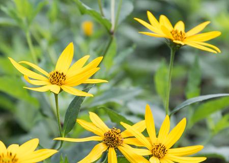 tree marigold: Tree marigold, Mexican sunflower, Japanese sunflower ingarden