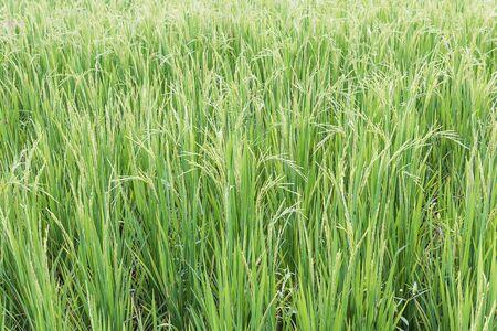 rice harvest: Close up paddy field of rice harvest season Stock Photo