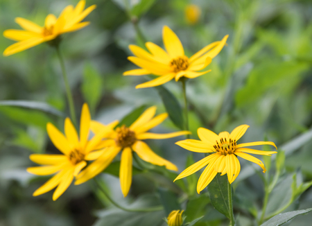 diversified: Tree marigold, Mexican sunflower, Japanese sunflower ingarden