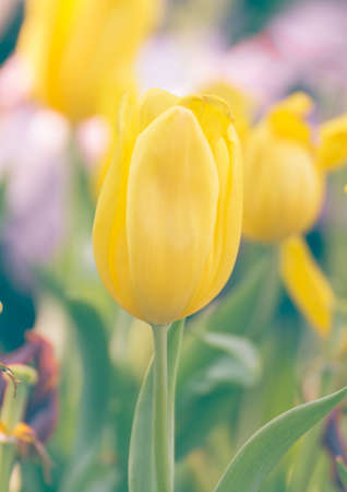 botanical farms: Close up Yellow tulip flower in garden