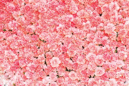 Beautiful carnation flower,Pink flower background of carnation flower Stock Photo