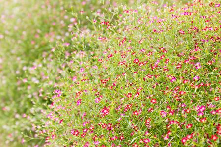 flowers horizontal: Close up little gypsophila flowers horizontal background