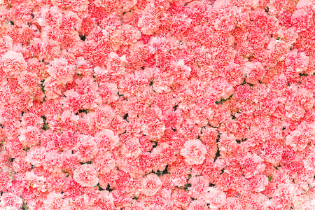 Beautiful carnation flower,Pink flower background of carnation flower