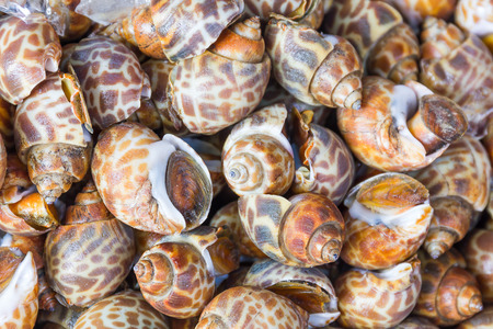 babylon: Close up Babylonia areolata or Spotted babylon at seafood market Stock Photo