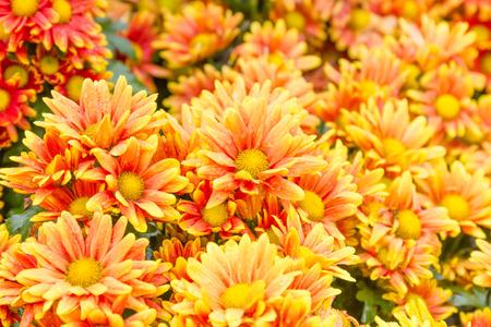 drop in: Orange Chrysanthemum flowers with water drop in garden Stock Photo