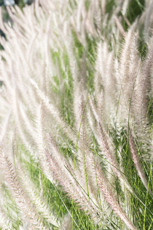 imperata: Imperata cylindrica Beauv of Feather grass in nature