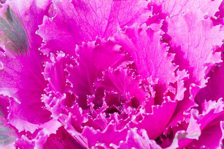 brassica: Close up fresh violet cabbage (brassica oleracea) plant leaves ,Ornamental decorative cabbage