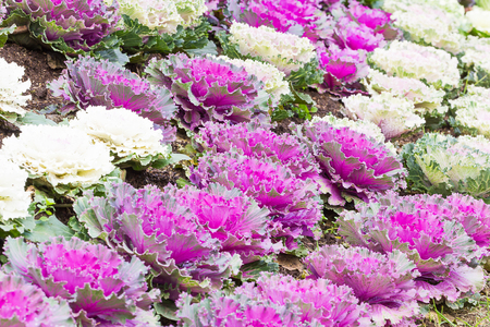 brassica: Fresh purple and white cabbage (brassica oleracea) plant leaves ,Ornamental decorative cabbage