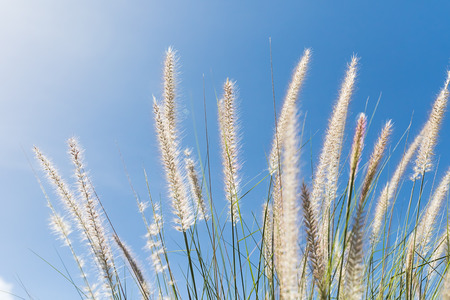 imperata: Imperata cylindrica Beauv or Cogon Grass of Feather grass in nature on blue sky  background