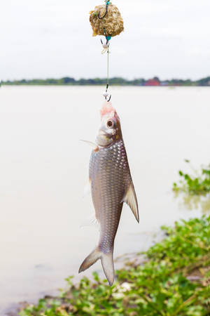 soldier fish: Soldier river barb fish (Cyclocheilichthys enoplos ) on the hook in the lake Stock Photo