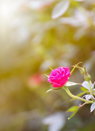 Pink rose bush of pink roses in garden Stock Photo