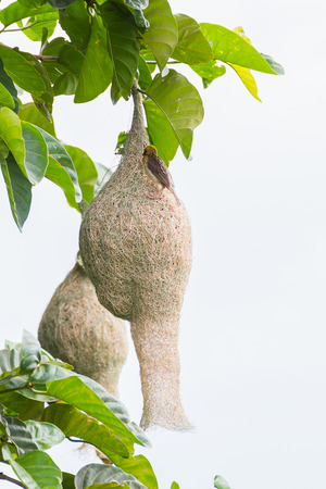 weaver bird: Baya weaver bird nest on branch of the tree in nature