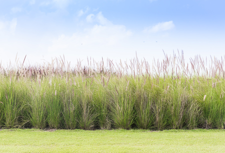 imperata: Imperata cylindrica Beauv or Cogon Grass of Feather grass with grass field in nature on blue sky background Stock Photo