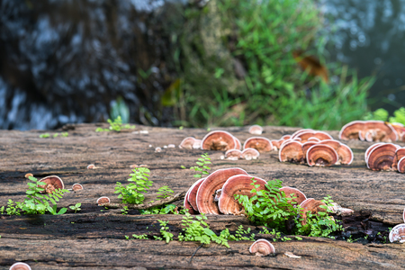 Group of Ganoderma Lucidum Mushroom or Ling Zhi Mushroom  on timber wood in rain forest