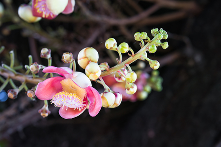 Close-up of Shorea robusta or Cannonball flower (Couroupita guianensis) on the tree