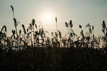 Close up field of Sorghum or Millet an important cereal crop with sunset Stockfoto
