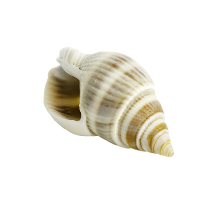 Conch shell isolated on white background, clipping path included