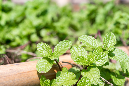 Fresh peppermint plant grown in vegetable garden,the aromatic leaves of a plant of the mint family, or an essential oil obtained from them, used as a flavoring in food Stock Photo