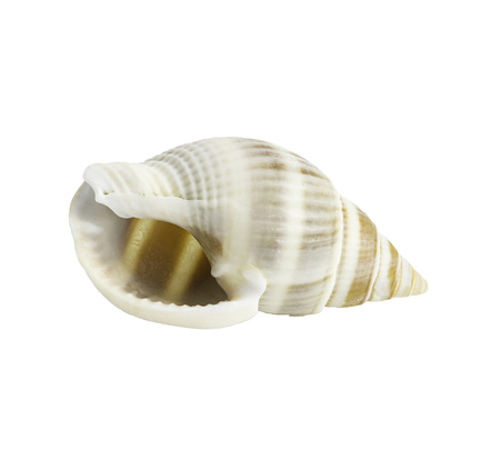 Conch shell isolated on white background