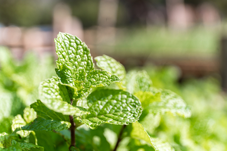 Fresh peppermint plant grown in vegetable garden,the aromatic leaves of a plant of the mint family, or an essential oil obtained from them, used as a flavoring in food Zdjęcie Seryjne