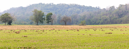 Panorama landscape view of green fields in farmland countryside Thailand