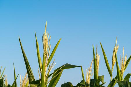 Corn pollen on the corn tassel in the cornfield