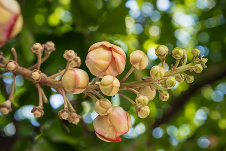 Shorea robusta or Cannonball flower or Sal flowers (Couroupita guianensis) on the tree Banco de Imagens