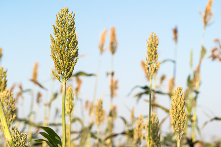 Close up Millet or Sorghum an important cereal crop in field Standard-Bild