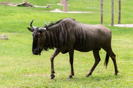 Blue wildebeest  standing in middle of grassland
