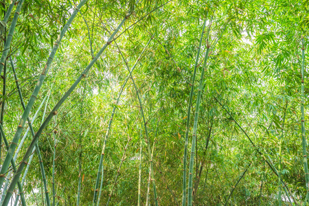 Bamboo forest with sunlight, Lanscape of bamboo tree in tropical rainforest Banque d'images