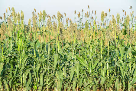 Millet or Sorghum plantations in the field