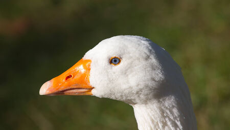 goose head: A close picture of a white goose head with a green background Stock Photo