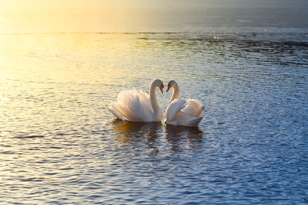 A picture of two swans forming a heart during sundown photo