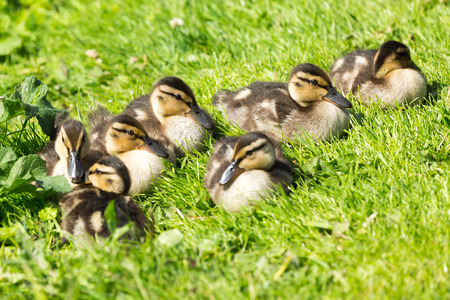 Picture of a group of small duck childs Stock Photo