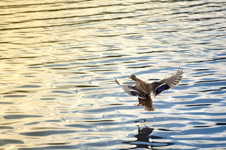 Picture of a female duck going in for landing Stock Photo