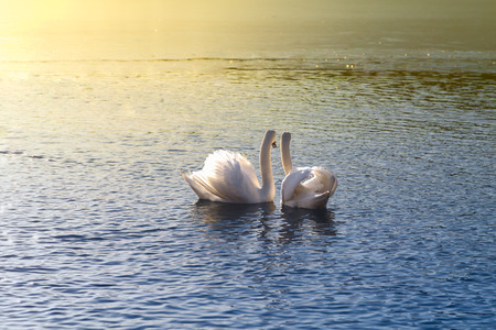 Two swans looking at the sunset together