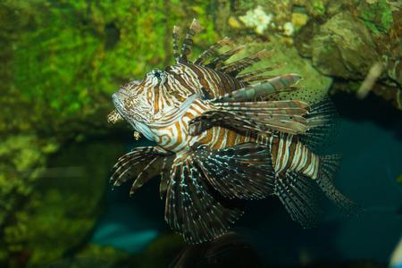 zebra lionfish: Zebra Lionfish swimming in an aquarium